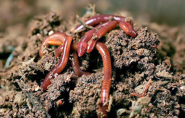 Garden Products - Γαιοσκώληκες Lumbricus rubellus ...